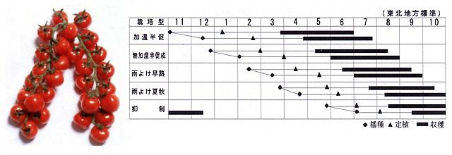 新食感トマト 松島交配 W431 薄皮ミニトマト