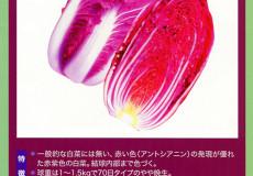 ナント種苗株式会社 / 白菜 / 一代交配 / NC-074