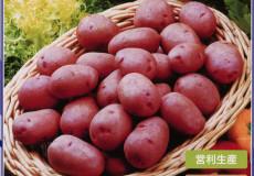 レッドカリスマ タネイモ