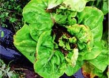 lettuce-disease14